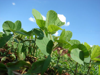 Soybean growing
