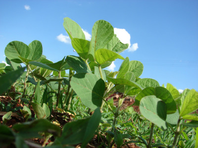 Soybean_growing