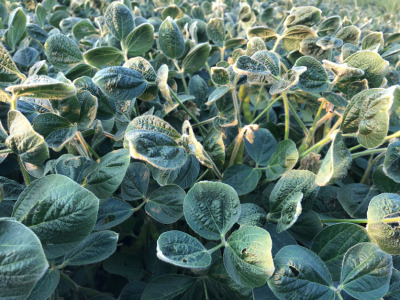 Soybean dicamba damage 1