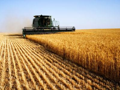 wheat_harvest_field