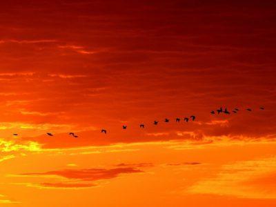 Daybreak geese