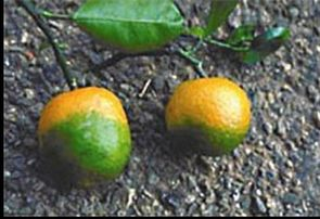 CitrusGreeningUSDA.jpg