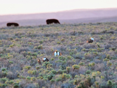 Sage grouse cattle
