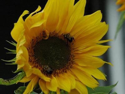 Pollinators   sunflower