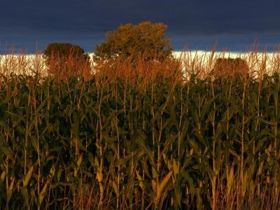 Heartland-corn-836
