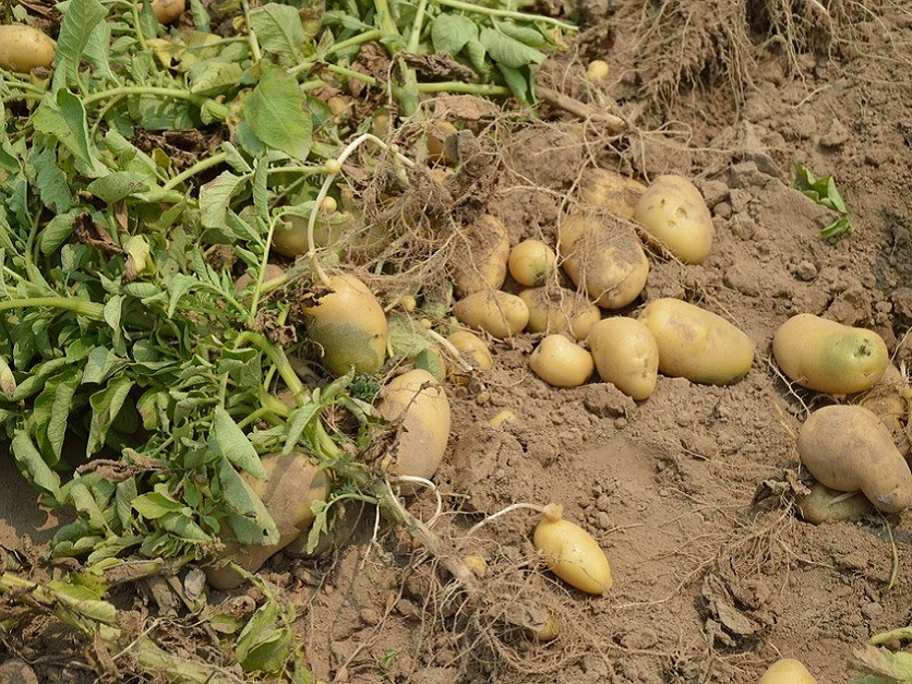Potato-Crop-836