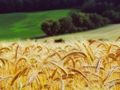 Wheat 836x627